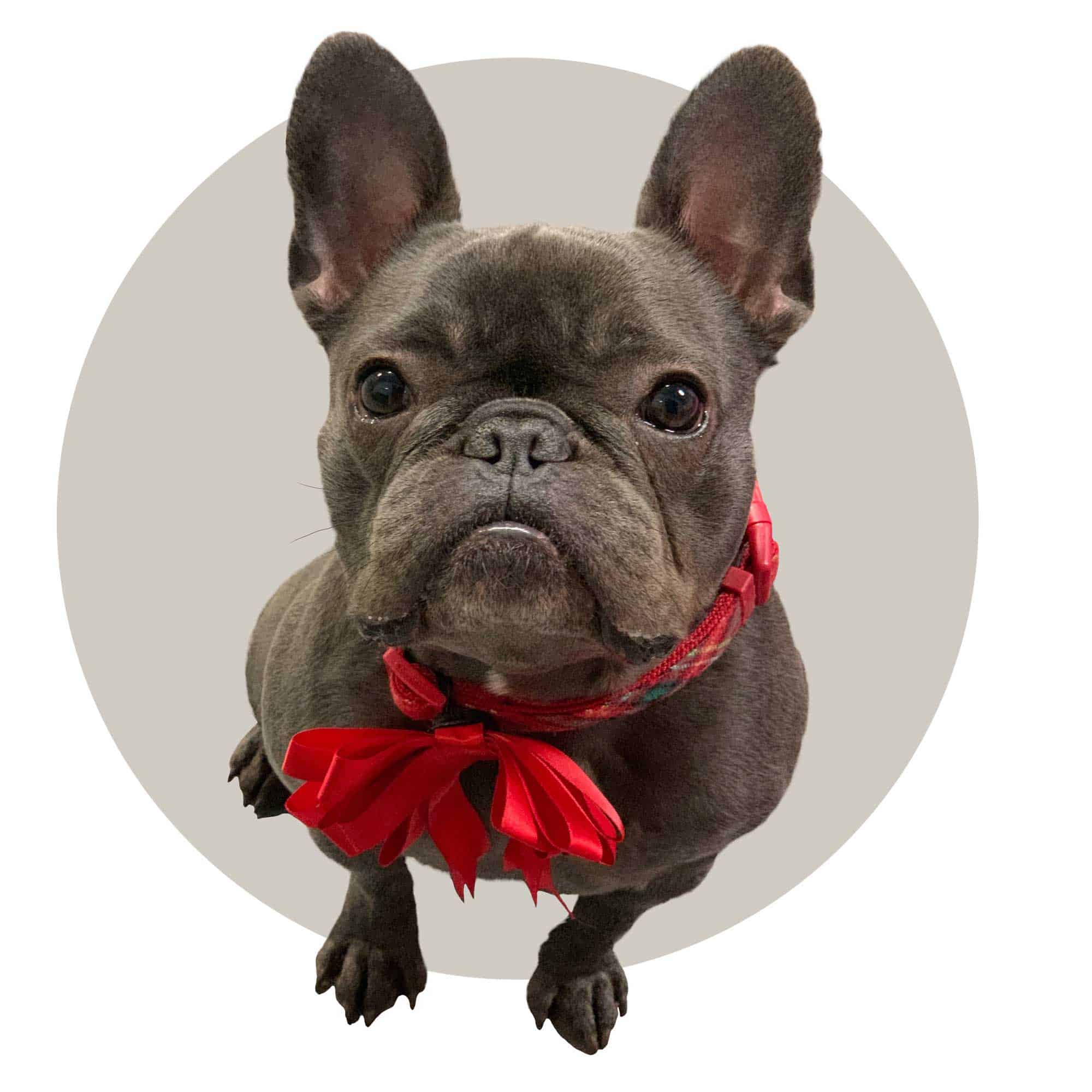 Pug with red bow ribbon.