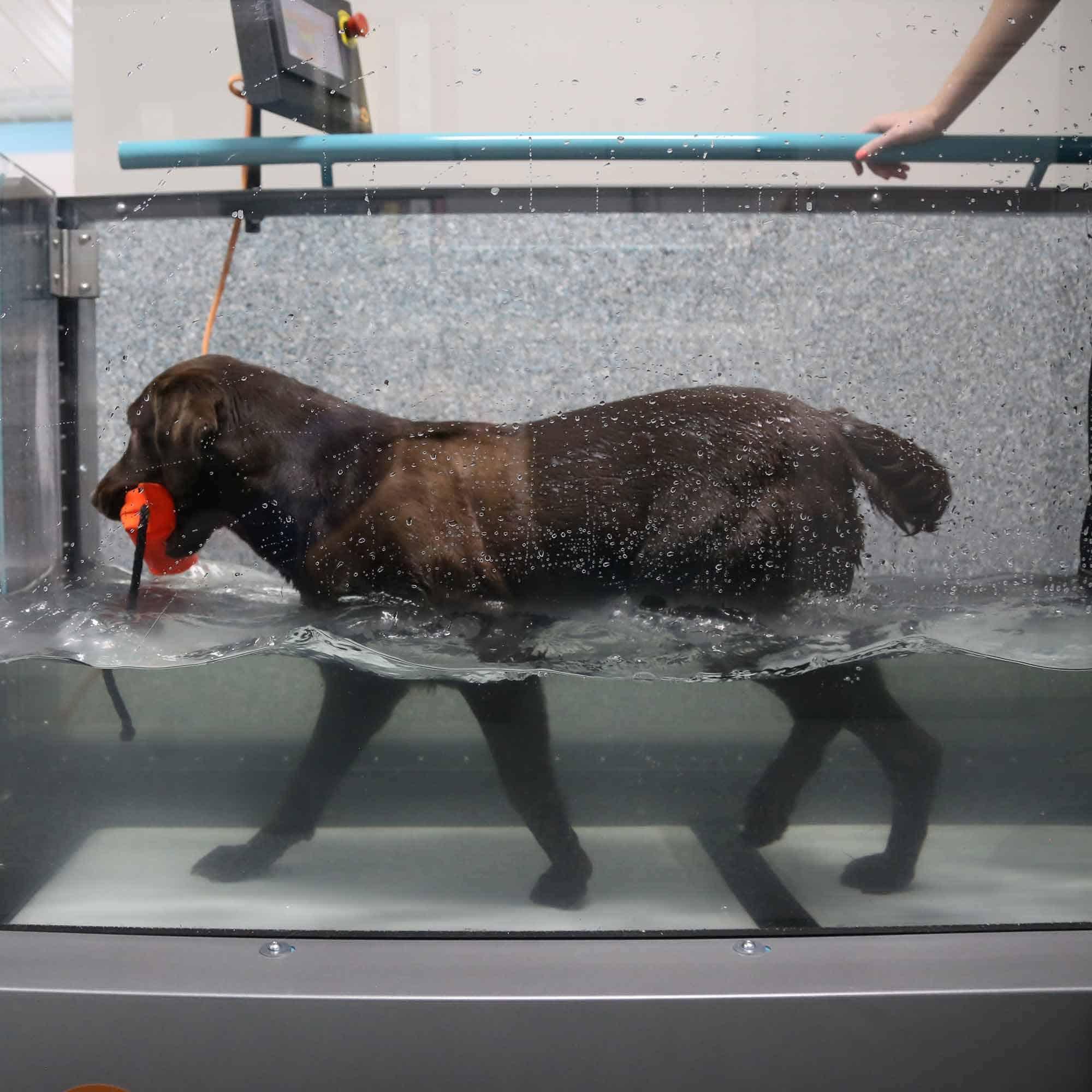 Labrador walking in hydrotherapy underwater treadmill.
