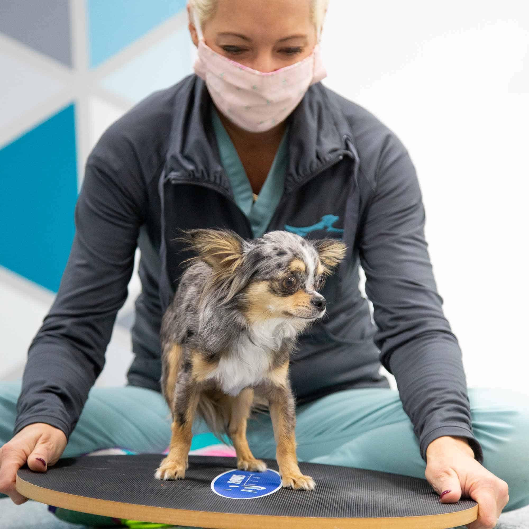Tiny dog on the balance board.